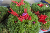 Sabzeh, or Wheat Grass, Is Sold for Nowruz, the Feast of the New Year Photographic Print by Will Van Overbeek