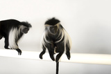 Peter's Angola Colobus Monkeys, Colobus Angolensis Palliatus, at the Omaha Henry Doorly Zoo Photographic Print by Joel Sartore