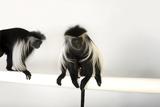 Peter's Angola Colobus Monkeys, Colobus Angolensis Palliatus, at the Omaha Henry Doorly Zoo Stampa fotografica di Sartore, Joel