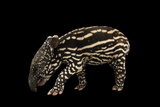An Endangered Six-Day-Old Malayan Tapir, Tapirus Indices, at the Minnesota Zoo Fotografisk tryk af Joel Sartore