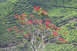 A Tree on the Boh Tea Plantation in the Cameron Highlands Photographic Print by Gabby Salazar