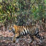 Bengal Tiger (Panthera Tigris Tigris), Bandhavgarh National Park, Umaria District Reprodukcja zdjęcia autor Green Light Collection