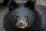 Close Up Portrait of a Rescued Asiatic Black Bear Fotodruck von Ami Vitale