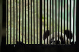 A Giant Panda Peers Through the Bars of its Enclosure Fotodruck von Ami Vitale