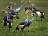 Flock of Grey Crowned Cranes (Balearica Regulorum), Ngorongoro Crater Photographic Print by Green Light Collection