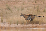 A Year-Old Bengal Tiger, Panthera Tigris Tigris, Running Along the Water's Edge Photographic Print by Jak Wonderly