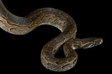 An African Rock Python, Python Sebae, at the National Mississippi River Museum and Aquarium Photographic Print by Joel Sartore
