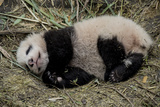 A Captive-Born Giant Panda Cub Resting in its Enclosure Photographic Print by Ami Vitale