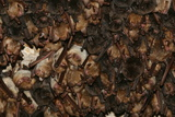 A Colony of Bats Roosting in the Sof Omar Caves Photographic Print by Cagan Sekercioglu