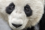 Close Up Portrait of a Captive Adult Giant Panda Fotodruck von Ami Vitale