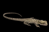 A Gippsland Water Dragon, Physignathus Lesueurii, at the Wild Life Sydney Zoo Photographic Print by Joel Sartore
