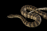A Coastal Carpet Python, Morelia Spilota Mcdowelli, at the Wild Life Sydney Zoo Photographic Print by Joel Sartore