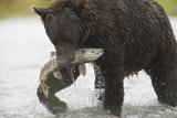 Adult Brown Bear, Ursus Arctos, with Salmon Fotoprint van Roy Toft
