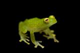 An Endangered Rio Azuela Glass Frog, Hyalinobatrachium Pellucidum Photographic Print by Joel Sartore