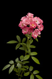A Hybrid Rose, Rosa Species Photographic Print by Joel Sartore