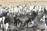 A Flock of Hooded Cranes, Grus Monacha, on Izumi Crane Migration Grounds Photographic Print by Cagan Sekercioglu