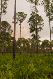 Rainbow over Pine and Palmetto Flatwoods in South Central Florida Photographic Print by Carlton Ward