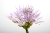 Chive Flowers, Allium Schoenoprasum Photographic Print by Joel Sartore