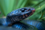 Close Up Portrait of an Indigo Snake Photographic Print by Carlton Ward