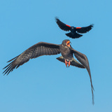 An Adult Snail Kite Soars Above a Juvenile Photographic Print by Carlton Ward
