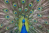 An Indian Peafowl Displays its Tail Feathers at a Tourist Attraction, Gatorama Photographic Print by Carlton Ward
