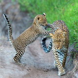 Leopard (Panthera Pardus) Family, Serengeti National Park, Tanzania Photographic Print by Green Light Collection