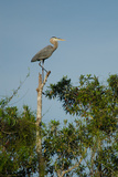 A Great Blue Heron Perches on a Tree Trunk in Everglades National Park Photographic Print by Carlton Ward