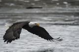 Portrait of a Bald Eagle, Haliaeetus Leucocephalus, Flying Low over the Chilkat River Photographic Print by Bob Smith