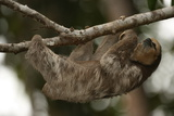 A Pale-Throated Sloth, Bradypus Tridactylus, Hangs from a Branch Photographic Print by Cagan Sekercioglu
