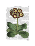 Primula Auricula Red Premium Giclee Print by  Fab Funky