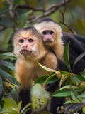 White-Throated Capuchin Monkeys (Cebus Capucinus) on Tree, Tortuguero, Costa Rica Photographic Print by Green Light Collection
