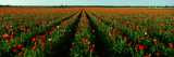 Wildflower Farm, Fredericksburg, Texas Photographic Print by Panoramic Images