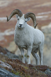 A Dall's Sheep, Ovis Dalli, Stands in a High Mountain Meadow Photographic Print by Barrett Hedges