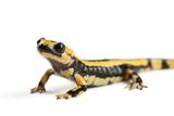 A European Fire Salamander, Salamandra Salamandra Salamandra Photographic Print by Joel Sartore