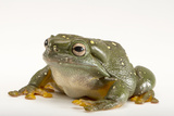 A Magnificent Tree Frog, Litoria Splendida, at the Wild Life Sydney Zoo Photographic Print by Joel Sartore