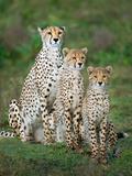 Cheetah (Acinonyx Jubatus) Family, Ndutu, Ngorongoro Conservation Area, Tanzania Fotografisk tryk af Green Light Collection