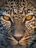Leopard (Panthera Pardus), Ndutu, Ngorongoro Conservation Area, Tanzania Fotografisk tryk af Green Light Collection