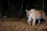 Camera Trap Photo of a Cougar in the Woods Photographic Print by Michael Forsberg