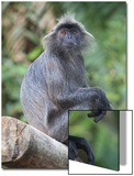 A Silvery Lutung, Trachypithecus Cristatus, Sits on a Log in the Rainforest Prints by Gabby Salazar