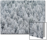 Snow-Covered Conifers Posters by Tom Murphy