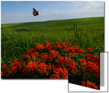 Monarch Butterflies Fly over the Prairie with Above Butterfly Milkweed in Bloom Prints by Michael Forsberg
