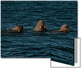A Trio of Walruses Swim in Waters Off Svalbard Poster by Cesare Naldi