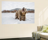 Brown Bear (Grizzly) (Ursus Arctos), Montana, United States of America, North America Wall Mural by Janette Hil