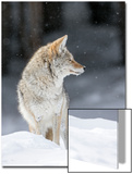 Portrait of a Coyote, Canis Latrans, in a Snowy Landscape Posters by Robbie George