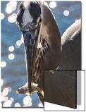 A Great Blue Heron, Ardea Herodias, with a Freshly Caught Fish Prints by Kent Kobersteen