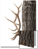 A Bull Elk, Cervus Elaphus, with Six Points on Each Side of His Antlers, Indicating Full Maturity Prints by Robbie George