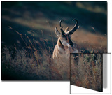 A Pronghorn Antelope Stands in a Field of Grass Posters by Michael Forsberg