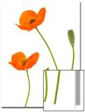 Oriental Poppy Flowers, Flower Buds and Seed Pod, Papaver Orientale Posters by Robert Llewellyn