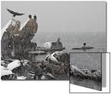 Bald Eagles, Haliaeetus Leucocephalus Sitting on Rocks During Snowfall Posters by Klaus Nigge