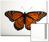 A Viceroy Butterfly, Limenitis Archippus, at the Lincoln Children's Zoo Print by Joel Sartore